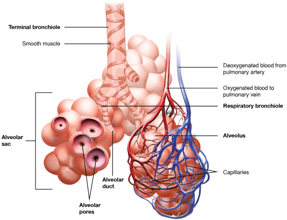 Diagram of Respiratory zone.