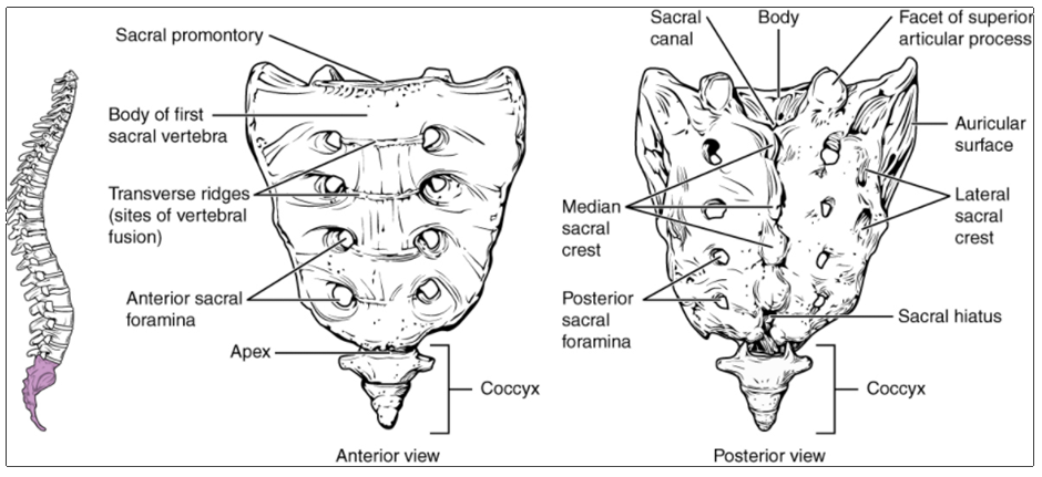 Diagram of Sacrum and coccyx.