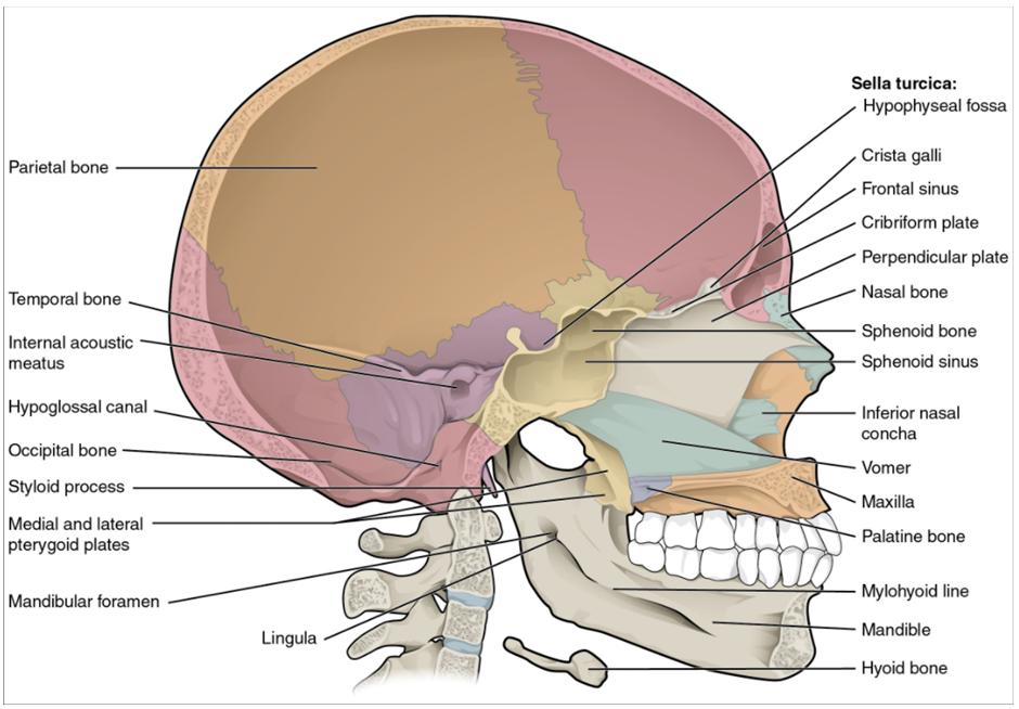 Sagittal section of skull