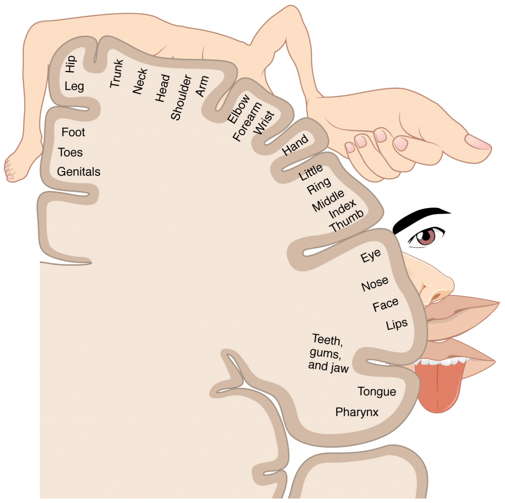 A cartoon representation of the sensory homunculus arranged adjacent to the cortical region in which the processing takes place.