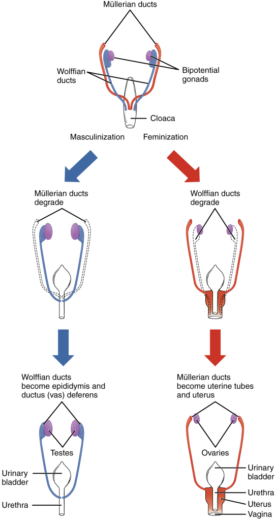 Diagram of Sexual differentiation between male and female