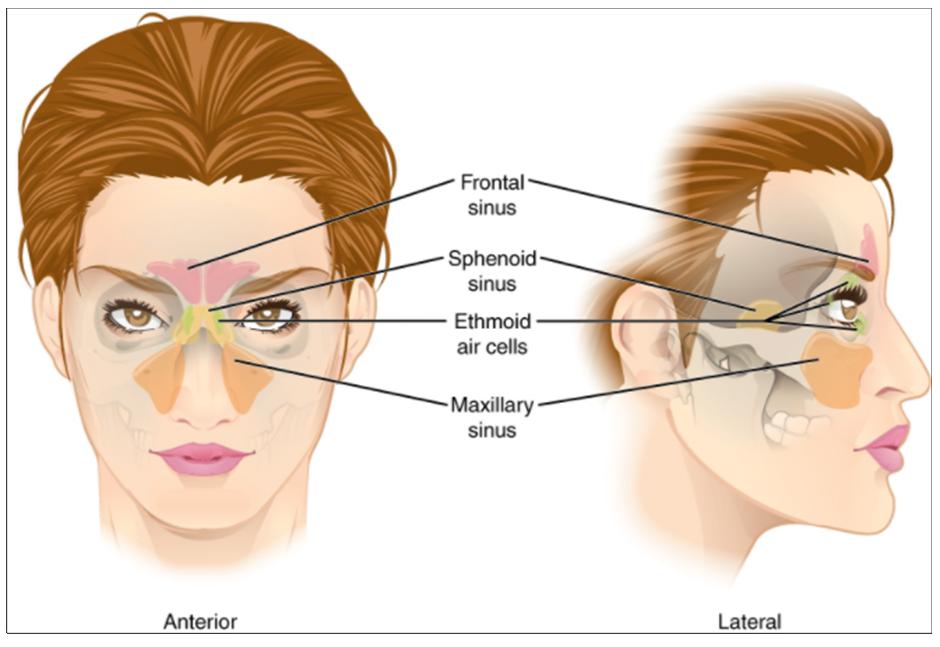 Diagram of Paranasal sinuses