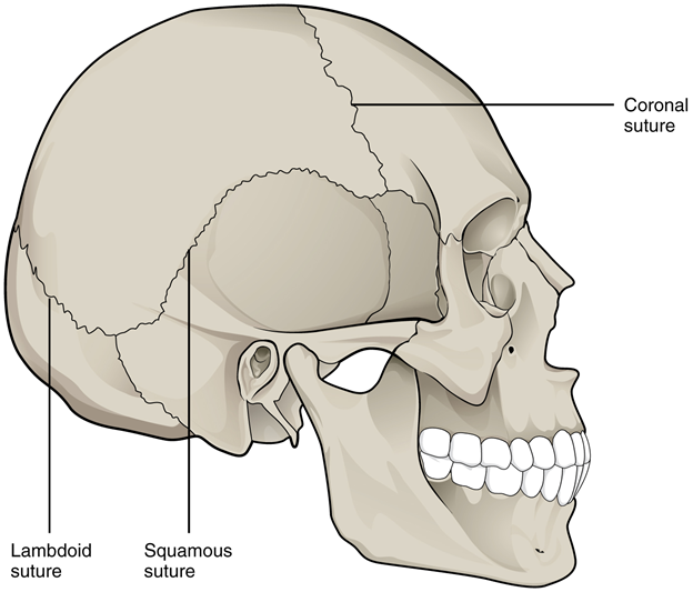 Suture joints of skull.