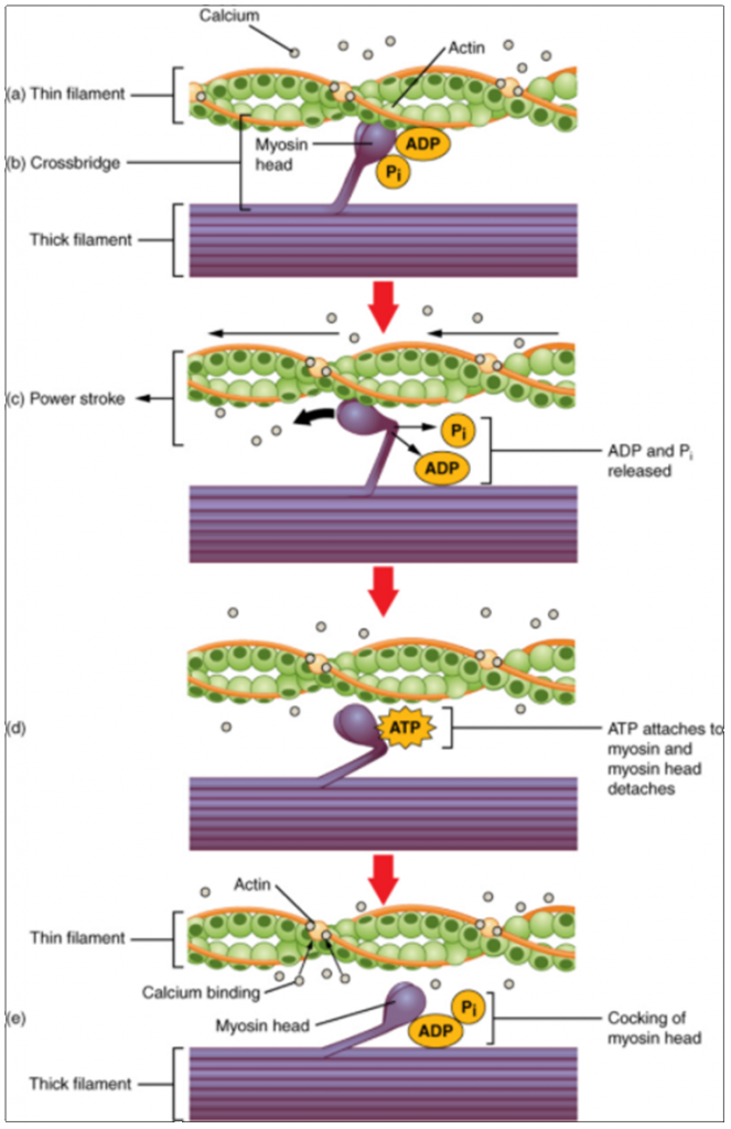 . Skeletal muscle contraction. (a) The active site on actin is exposed as calcium binds to troponin. (b) The myosin head is attracted to actin, and myosin binds actin at its actin-binding site, forming the cross-bridge. (c) During the power stroke, the phosphate generated in the previous contraction cycle is released.