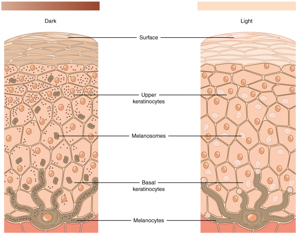 Diagram of skin pigmentation in cells