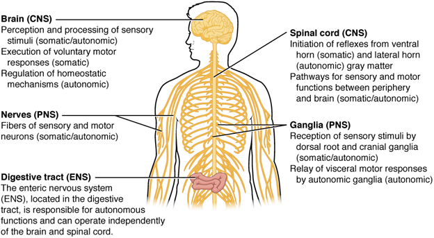 Somatic, autonomic, and enteric structures of the nervous system.
