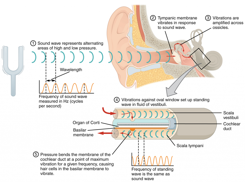 Transmission of sound waves to cochlea.