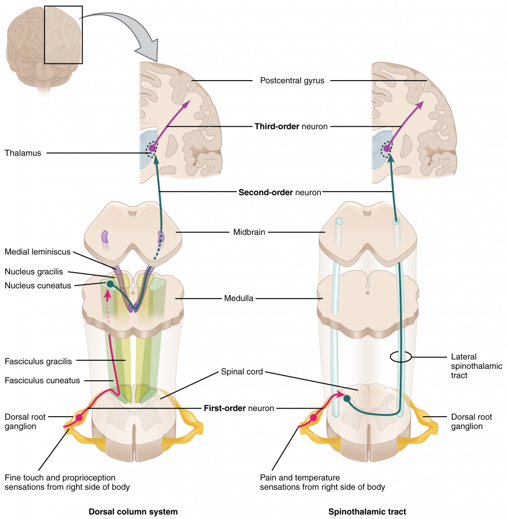 Ascending sensory pathways of the spinal cord.