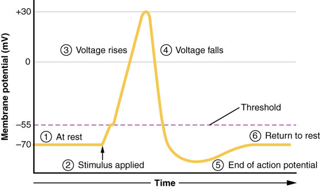 Graph on stages of action potential