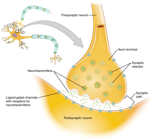 The synapse diagram