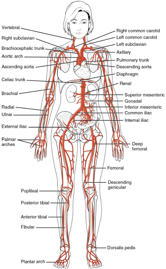 Systematic arteries labelled on human body