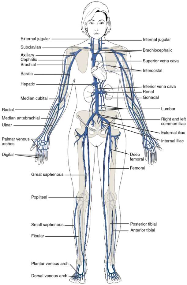 The major systemic veins of the body are shown here in an anterior view.