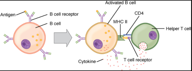 Diagram of t and b cells binding