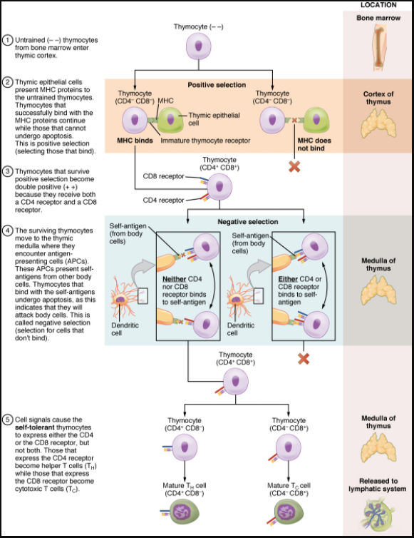 Figure 7.3.4. Differentiation of T cells within the thymus. Thymocytes enter the thymus and go through a series of developmental stages that ensures both function and tolerance before they leave and become functional components of the adaptive immune response.