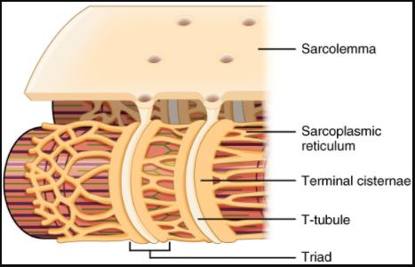 The T-tubule.
