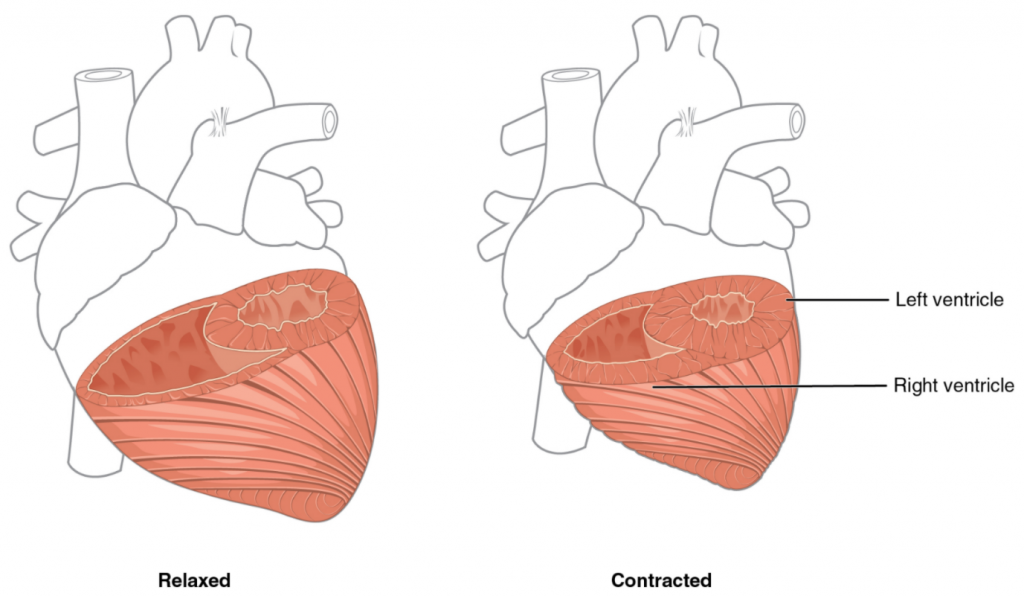 Differences in ventricular muscle thickness. between relaxed and contracted heart