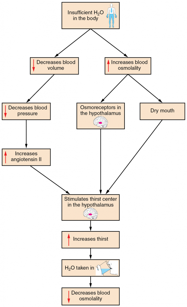 Figure 17.12.1. A flowchart showing the thirst response.