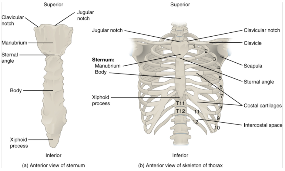 Diagram of Thoracic cage