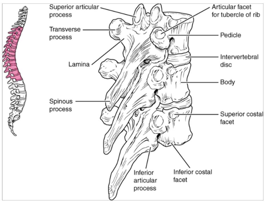 Diagram of Thoracic vertebrae