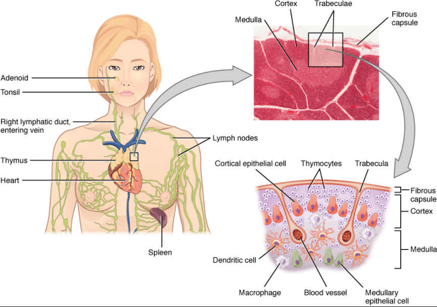 Diagram of Location, structure, and histology of the thymus