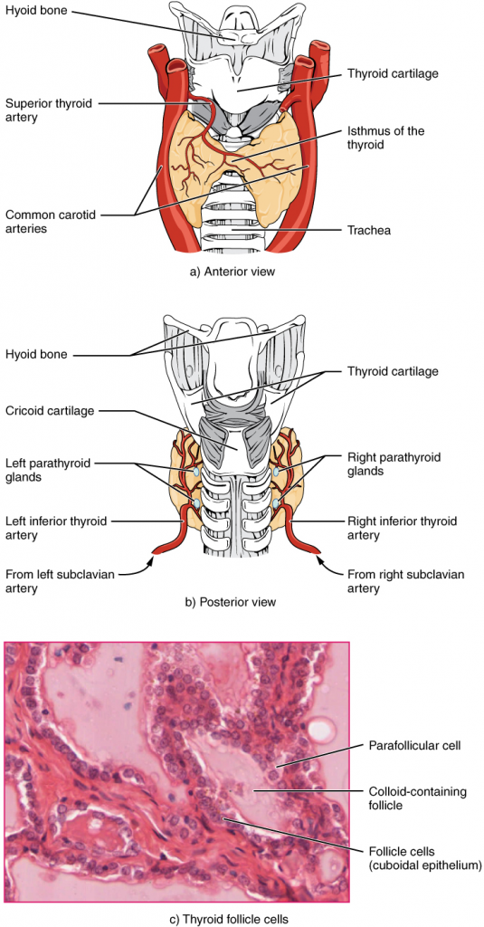 Thyroid gland. The thyroid gland is located in the neck where it wraps around the trachea. (a) Anterior view of the thyroid gland. (b) Posterior view of the thyroid gland. (c) The glandular tissue is composed primarily of thyroid follicles. The larger parafollicular cells often appear within the matrix of follicle cells.