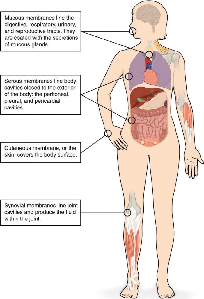 Diagram of human body highlighting tissue membrances ncluding mucous membrances, serous membranes, cutaneous membrane and synovial membranes