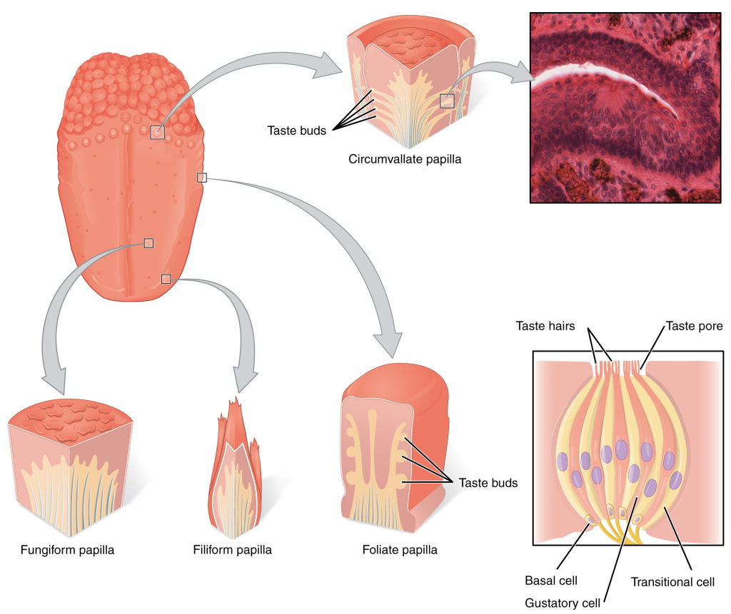Diagram of tongue