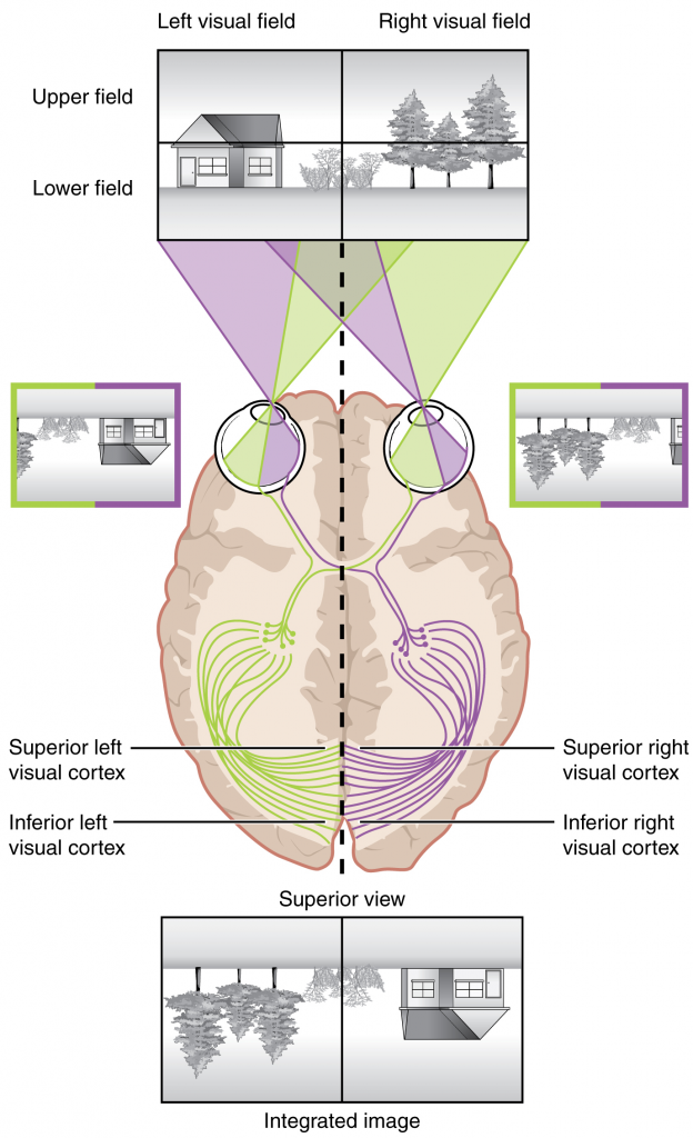 Topographic mapping of the retina onto the visual cortex