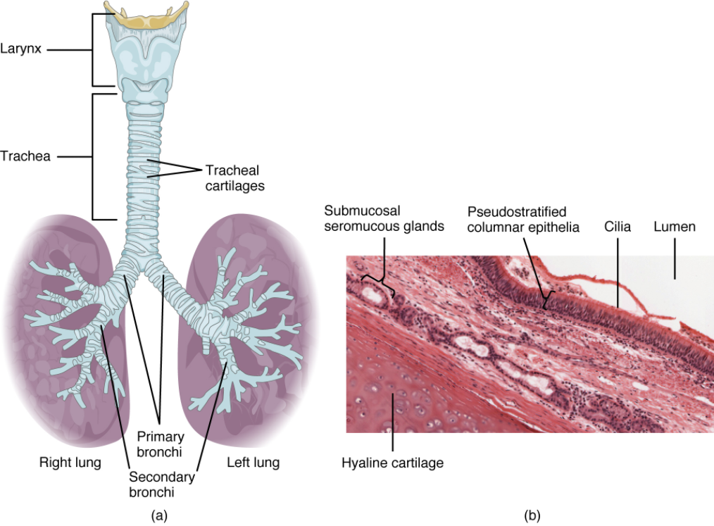 Diagram of trachea. (a) The tracheal tube is formed by stacked, C-shaped pieces of hyaline cartilage. (b) The layer visible in this cross-section of tracheal wall tissue between the hyaline cartilage and the lumen of the trachea is the mucosa, which is composed of pseudostratified ciliated columnar epithelium that contains goblet cells.