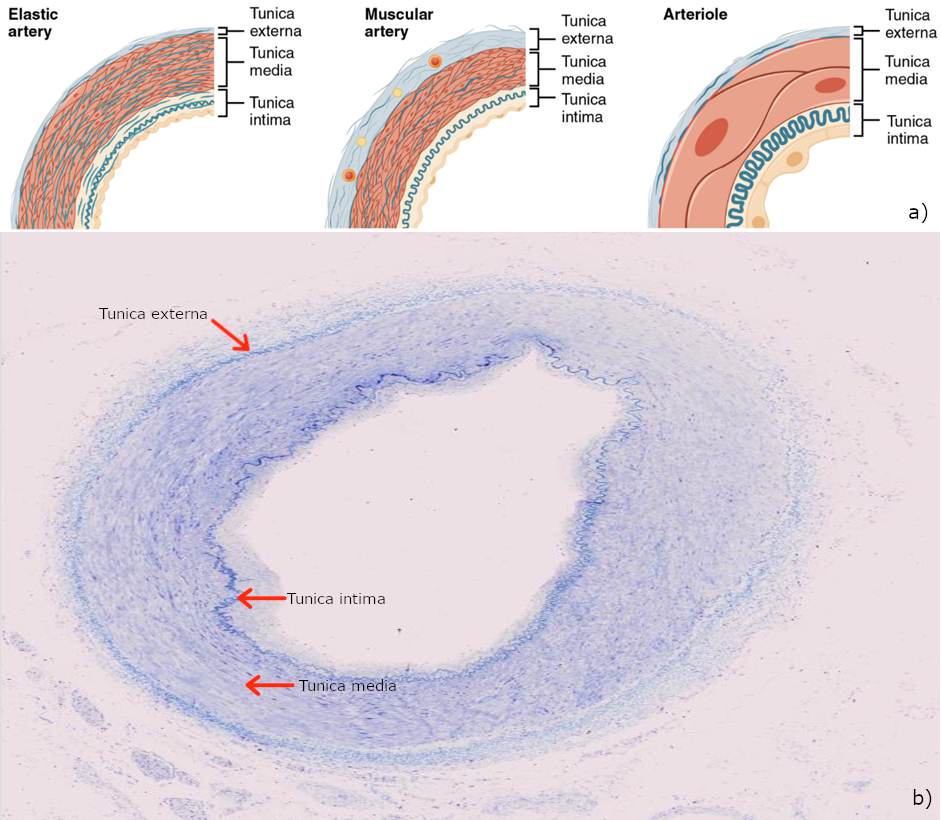 Types of arteries and arterioles. a) Comparison of the walls of an elastic artery, a muscular artery, and an arteriole is shown. In terms of scale, the diameter of an arteriole is measured in micrometres compared to millimetres for elastic and muscular arteries; b) hyoid artery, human, 40x, transverse.