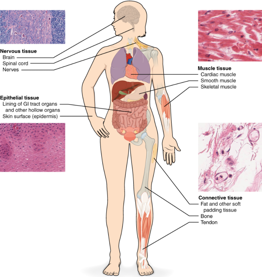 Diagram of human body highlighting the four types of tissue- nervous tissue, epithelial tissue, muscle tissue and connective tissue