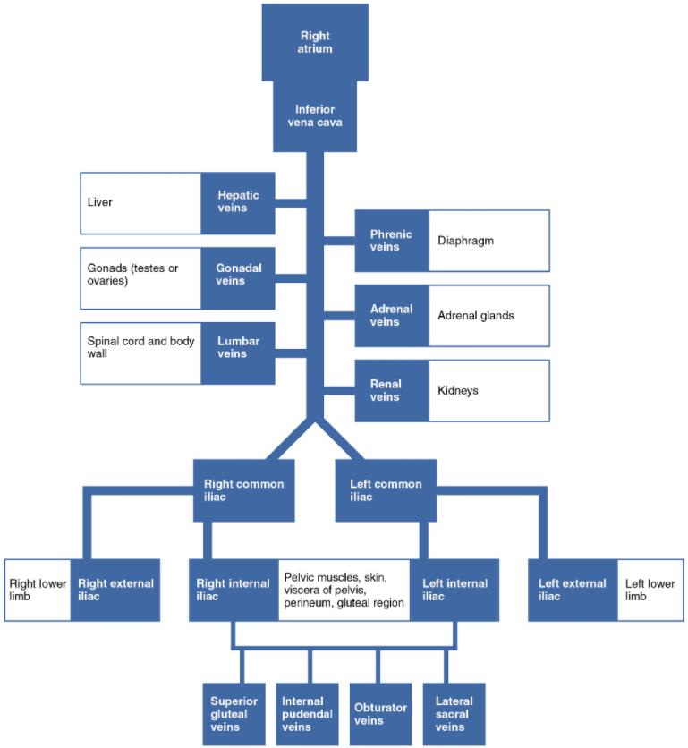 The flow chart summarises veins that deliver blood to the inferior vena cava.