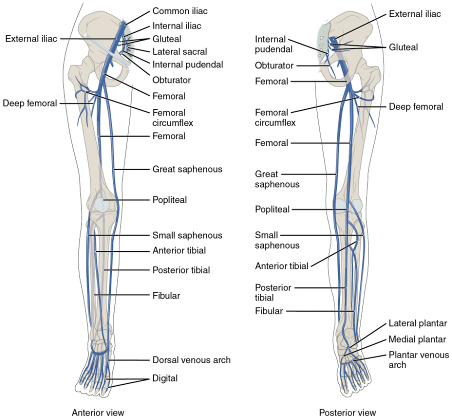 Anterior and posterior views show the major veins that drain the lower limb into the inferior vena cava.