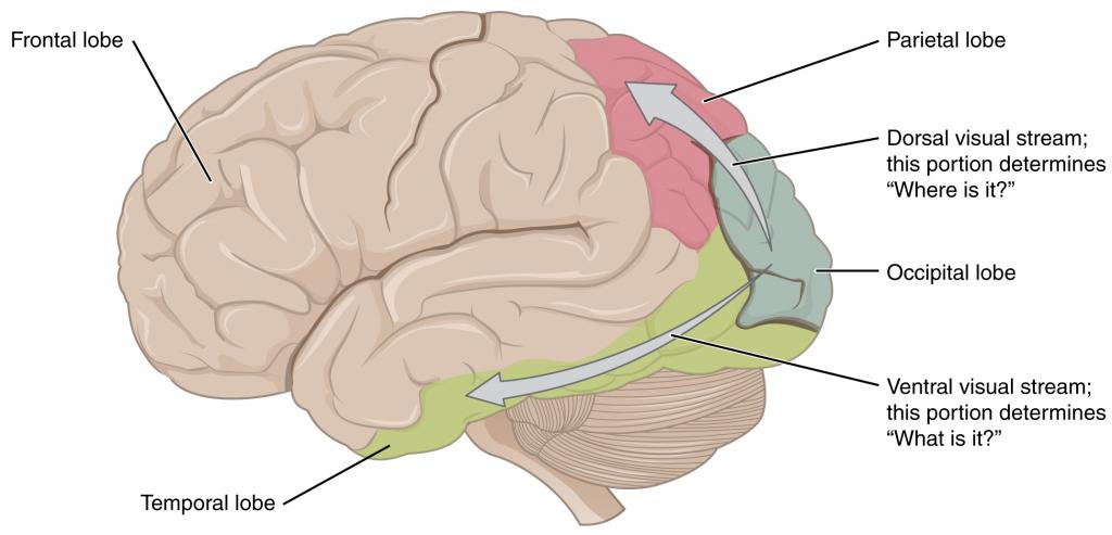 Ventral and dorsal visual streams.