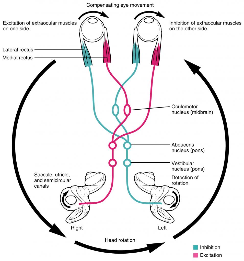 Diagram of Vestibulo-ocular reflex