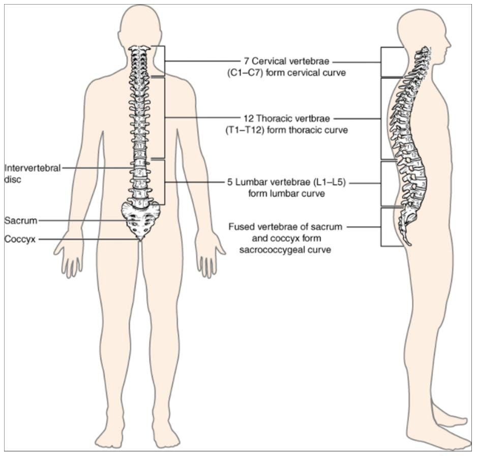 Diagram of Vertebral column.