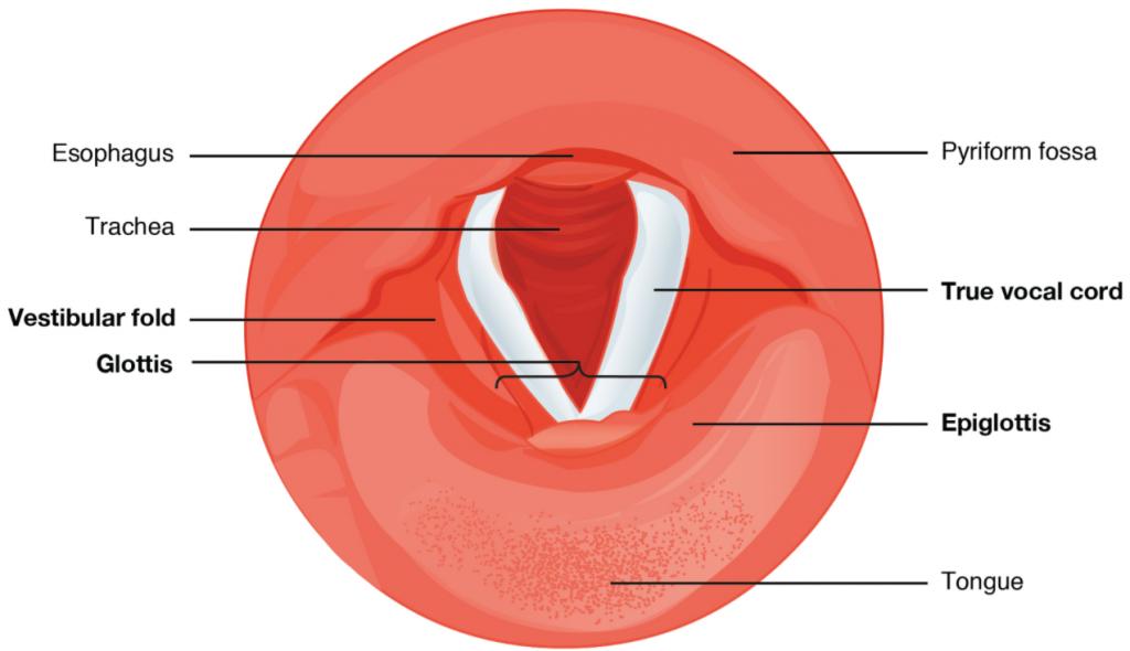 Diagram of vocal cords