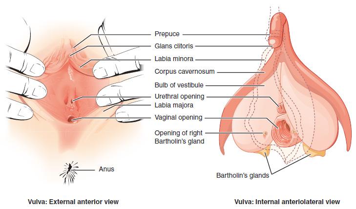 Diagram of vulva