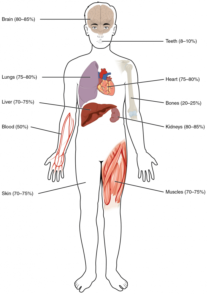 Water content of the body's organs and tissues
