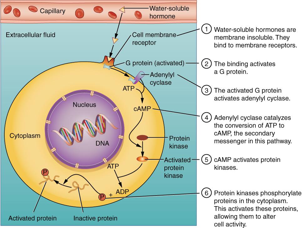 Binding of water-soluble hormones