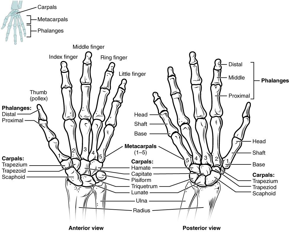. Bones of the wrist and hand