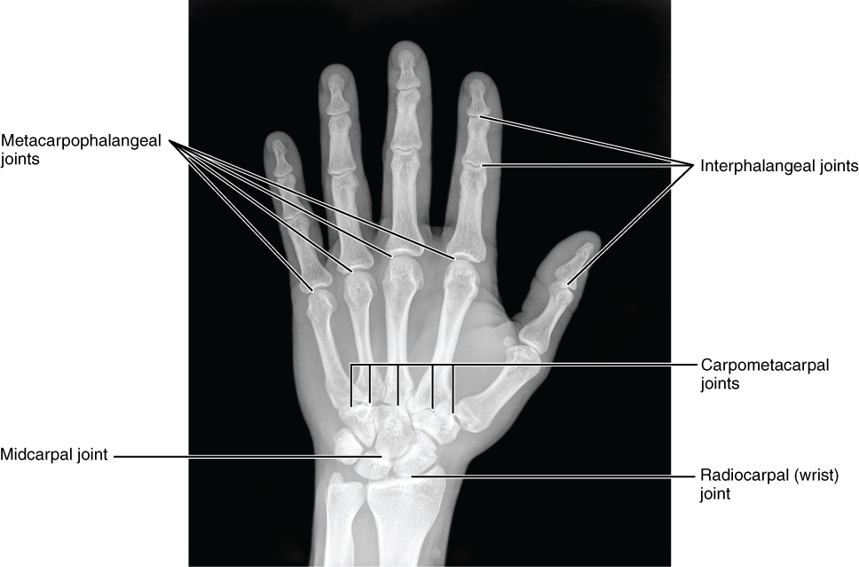 Bones of the hand posterior view.